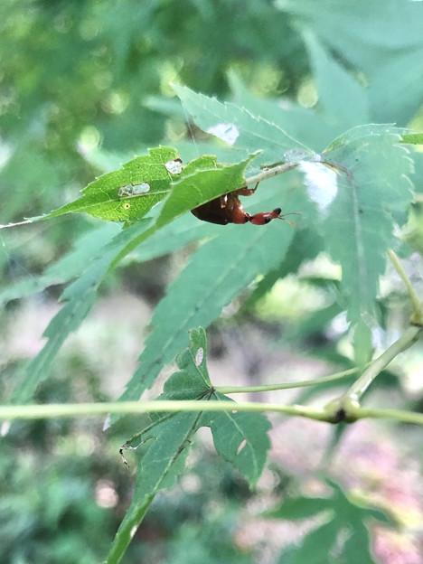 葉っぱの裏にいた小さなウスアカオトシブミ - 1