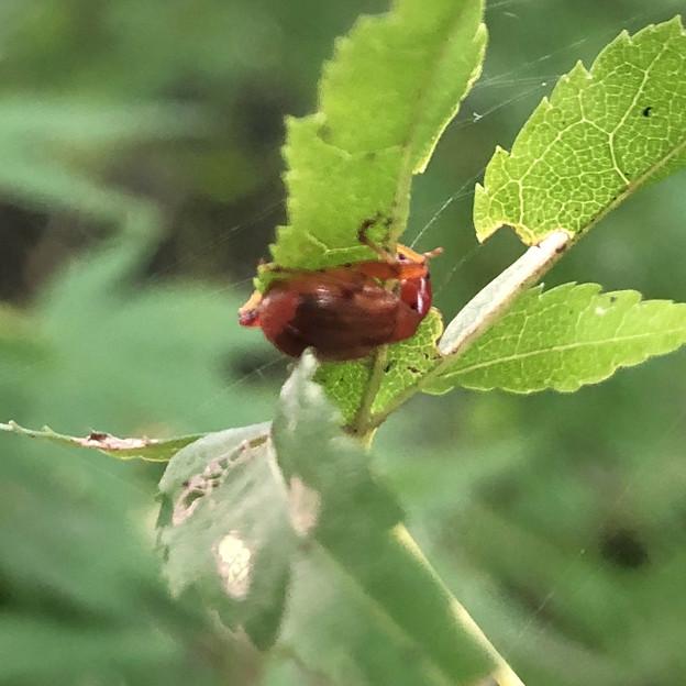 葉っぱの裏にいた小さなウスアカオトシブミ - 5