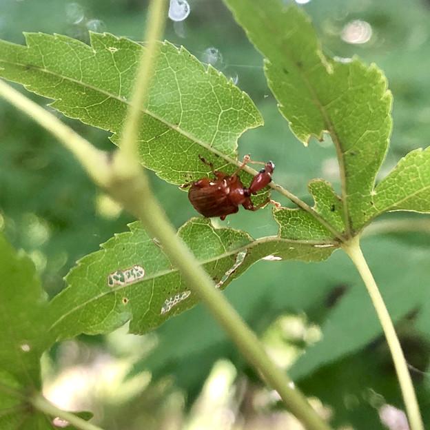 葉っぱの裏にいた小さなウスアカオトシブミ - 9