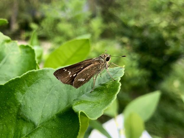 東谷山フルーツパーク:レモンの葉の上にとまったセセリチョウ - 1