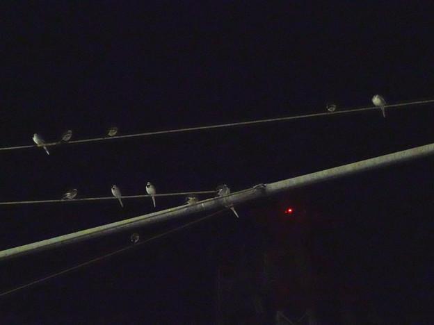 Photos: 交通量の多い国道19号の交差点にいたハクセキレイの集団 - 1