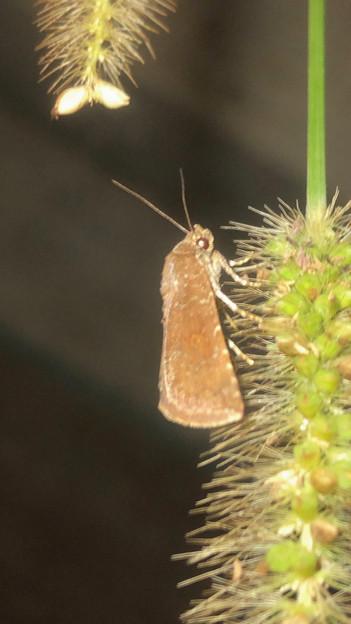 エノコログサの上にいた小さい蛾 - 1