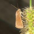 Photos: エノコログサの上にいた小さい蛾 - 1
