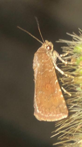 エノコログサの上にいた小さい蛾 - 2