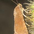 Photos: エノコログサの上にいた小さい蛾 - 2