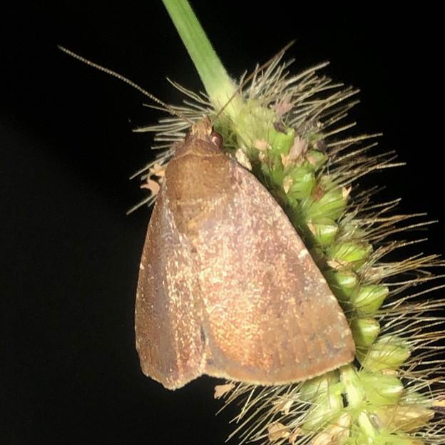 エノコログサの上にいた小さい蛾 - 3