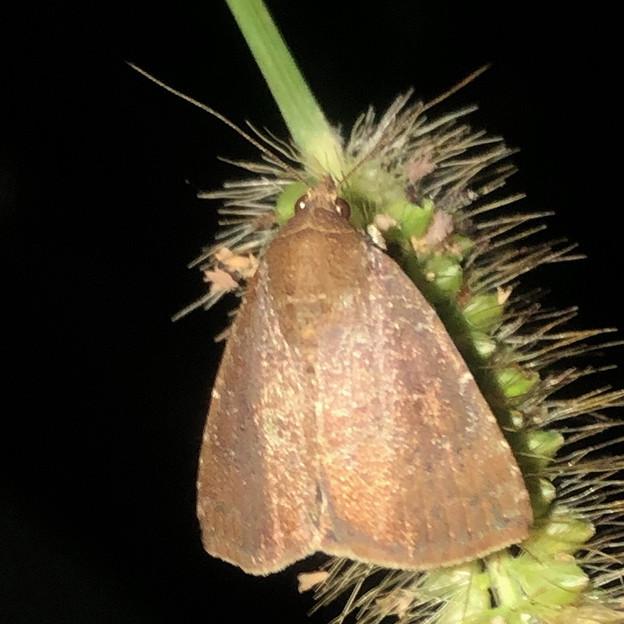 エノコログサの上にいた小さい蛾 - 4