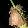 Photos: エノコログサの上にいた小さい蛾 - 4
