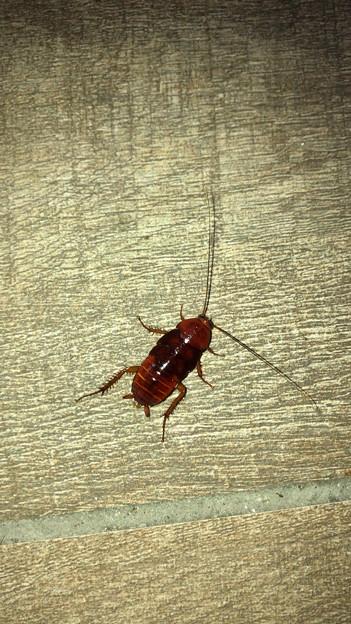落合公園に茶色いコギブリの幼虫? - 1
