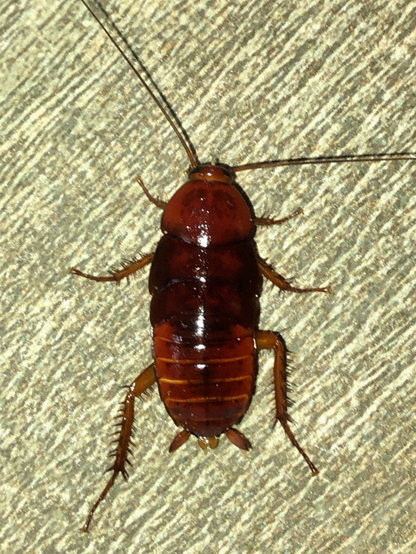 落合公園に茶色いコギブリの幼虫? - 2