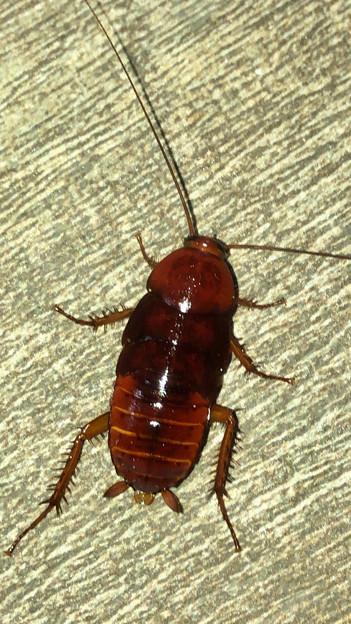 落合公園に茶色いコギブリの幼虫? - 5