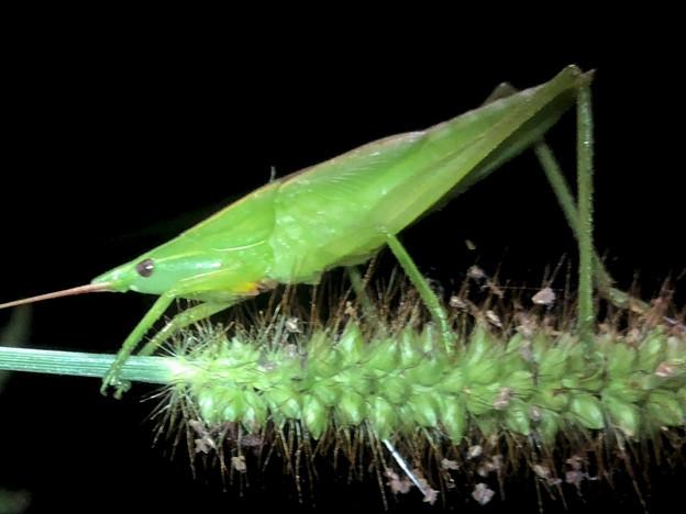 エビっぽく見えたキリギリス科の昆虫 - 3