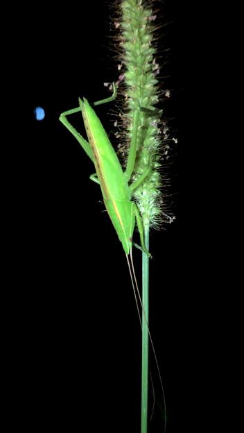 エビっぽく見えたキリギリス科の昆虫 - 5