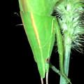 エビっぽく見えたキリギリス科の昆虫 - 8