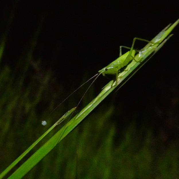 エビっぽく見えたキリギリス科の昆虫 - 9