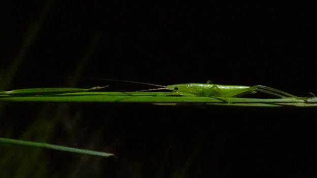 エビっぽく見えたキリギリス科の昆虫 - 10