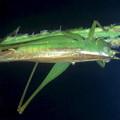 オナガササキリのメス - 3