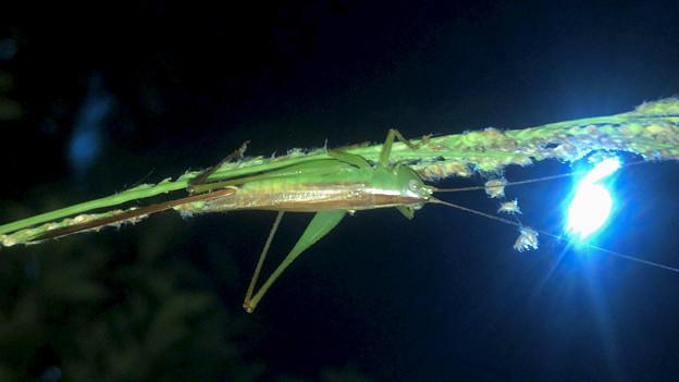 オナガササキリのメス - 2