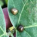 2匹並んで葉っぱの上にいたマルカメムシ - 2