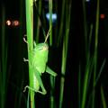 夜の草むらにいたツチイナゴの幼虫 - 1