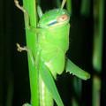 夜の草むらにいたツチイナゴの幼虫 - 2