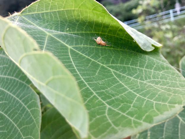 葉っぱの上に巣を張っていた小さな蜘蛛 - 1