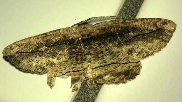 毛皮の様な柄の蛾