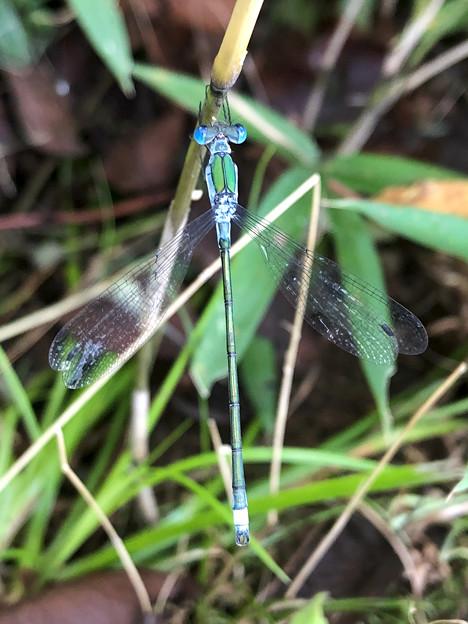 青色と緑色の体が特徴のイトトンボ科のトンボ - 1