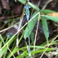 Photos: 青色と緑色の体が特徴のイトトンボ科のトンボ - 1