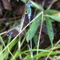 青色と緑色の体が特徴のイトトンボ科のトンボ - 2