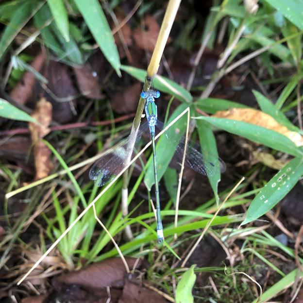 青色と緑色の体が特徴のイトトンボ科のトンボ - 3
