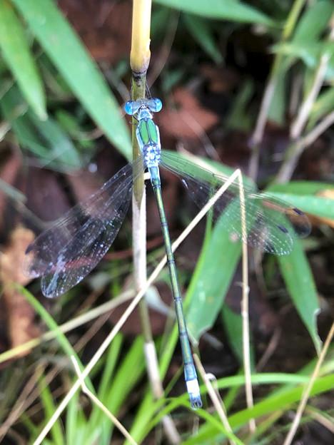 青色と緑色の体が特徴のイトトンボ科のトンボ - 4