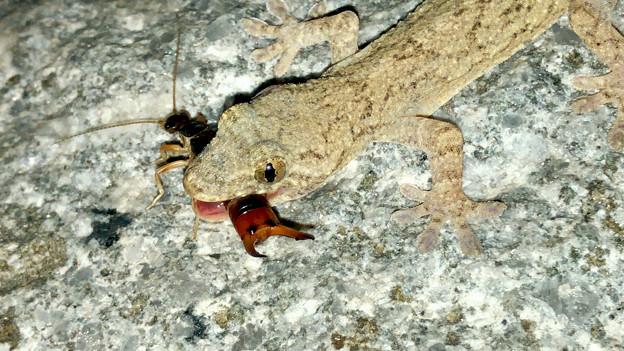 オオハサミムシを捕まえていたヤモリ - 9