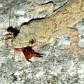 Photos: オオハサミムシを捕まえていたヤモリ - 9