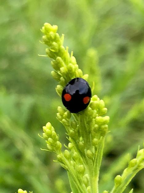 草の上にいたナミテントウ - 2
