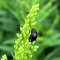草の上にいたナミテントウ - 4