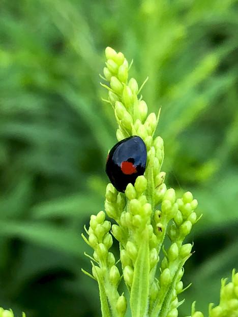 草の上にいたナミテントウ - 5