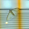 Photos: 街灯の上にいて透けて見えた蛾 - 1