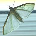 Photos: 街灯の上にいて透けて見えた蛾 - 2
