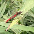 西高森山にいた尾が真っ赤なトンボ - 2