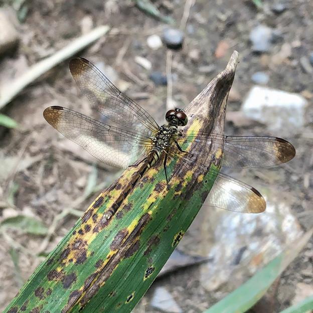 西高森山にいた目と羽の先が茶色いトンボ - 1