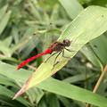 西高森山にいた尾が真っ赤なトンボ - 3