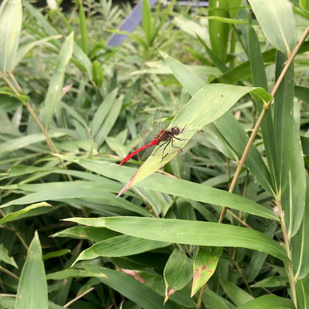 西高森山にいた尾が真っ赤なトンボ - 1