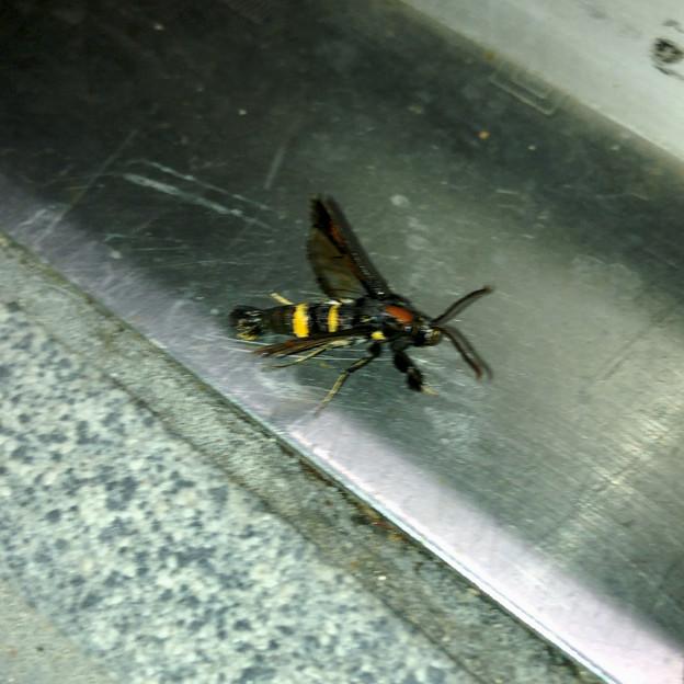 Photos: 蜂にそっくりのコスカシバ族の蛾 - 1