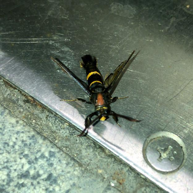 蜂にそっくりのコスカシバ族の蛾 - 2
