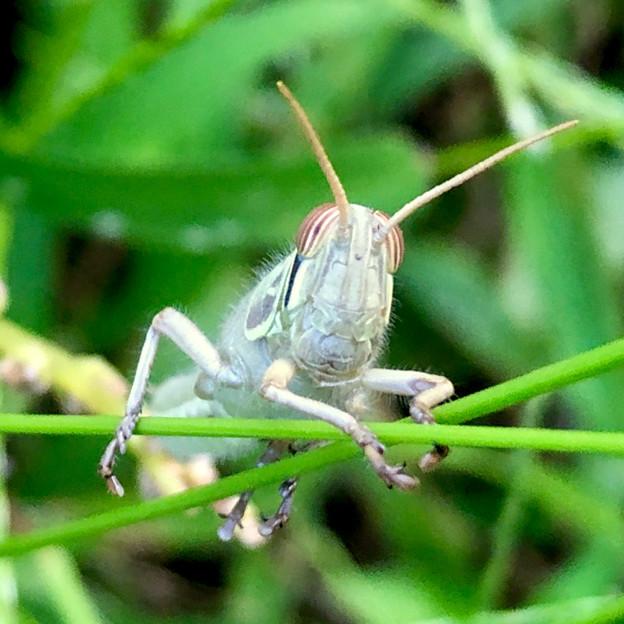 真正面からみたツチイナゴの幼虫の顔 - 1