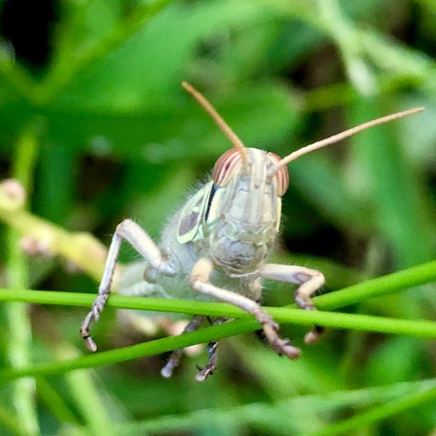 真正面からみたツチイナゴの幼虫の顔 - 2