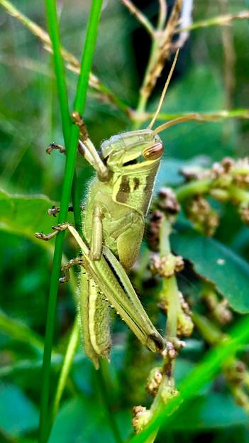 草の上にいたツチイナゴの幼虫 - 1