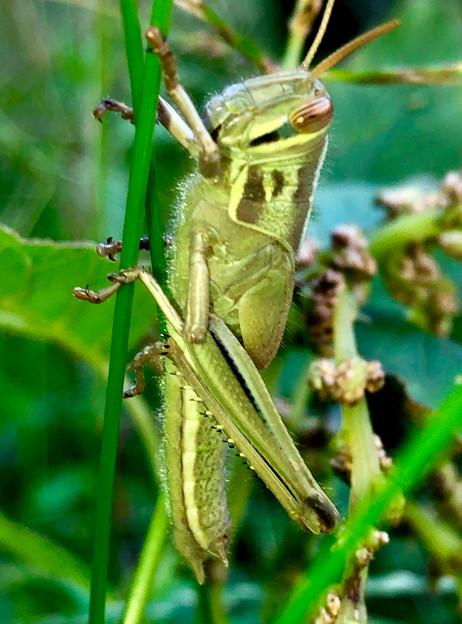 草の上にいたツチイナゴの幼虫 - 4