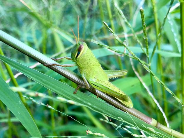 草の上にいたツチイナゴの幼虫 - 5